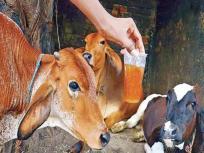 सावधान! गलती से भी मत पीना गाय का पेशाब, भारतीय वैज्ञानिकों ने माना 'सेहत को नहीं होता एक भी फायदा'