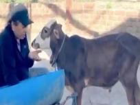 VIDEO: बछड़े को चारा खिलाते नजर आए धर्मेंद्र, कहा- इनके साथ मिलती है एक अलग खुशी
