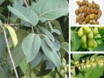 COVID-19 Treatment: भारतीय वैज्ञानिकों का दावा, चाय और हरड़ में कोरोना को हराने की क्षमता, ऐसे करें इस्तेमाल