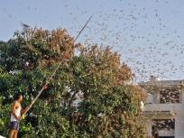 Locust attack:फिर लौटीं टिड्डियां,छह राज्यों के 71 जिलों में देखा गया,फसलों पर हमला,ड्रोन से दवा छिड़काव