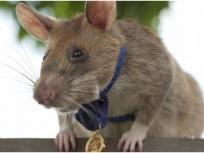 चूहे ने जीता बहादुरी में गोल्ड मेडल, दुनिया में बना चर्चा का विषय, जानिए पूरा मामला