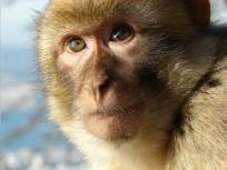 आगरा के सामाजिक कार्यकर्ताओं की मांग, बंदरों को संरक्षित प्रजातियों की सूची जाए निकाला