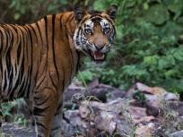 मध्य प्रदेश के पन्ना टाइगर रिजर्व में खुशी की लहर,दो बाघिनों ने दिए पांच शावकों को जन्म,कुल 58 बाघ हो गए