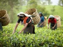 भारत का चाय उत्पादन चालू वर्ष में 13 प्रतिशत घटने का अनुमान: रिपोर्ट