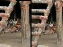 बंगाल के सफारी पार्क में बाघिनी ने तीन शावकों को जन्म दिया, देखें वीडियो