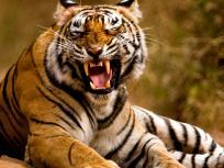 Rajasthanki khabar:सरिस्का बाघ अभयारण्य में दिखे तीन शावक,बाघों की संख्या 20