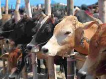 देश में मवेशियों की संख्या 53.57 करोड़, जानिए गाय, बैल, भेड़ और बकरी की संख्या