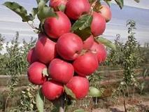 कश्मीर से आने वाले सेबों पर लिखा'हमें चाहिए आजादी', 'मुझे वानी पसंद है' और 'जाकिर मूसा वापस आओ' जैसे संदेश