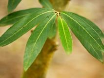 यौन शक्ति बढ़ाने के अलावा ब्रेस्ट कैंसर, ब्लड प्रेशर, हार्ट अटैक से बचाता है ये पौधा
