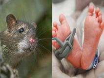 नौ दिन के बच्चे को चूहों नें अस्पताल में कुतरा, हुई दर्दनाक मौत