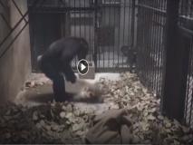 VIDEO: इस चिम्पांजी को पसंद नहीं गंदगी, खुद लगाता है झाड़ू, धोता है कपड़े