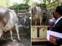 जब कोर्ट पहुंची गाय जज ने सुनाया फैसला, जानें क्या है पूरा मामला