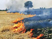 पराली जलाने की समस्याःनयी जैव तकनीकडंठल को तेजी से गला पचा कर कंपोस्ट खाद में बदल देते है