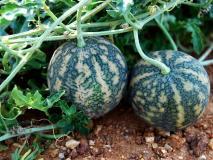 किडनी की पथरी, दमा, डायबिटीज, बवासीर को जड़ से खत्म कर सकता है तरबूज जैसा दिखने वाला ये फल