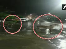 गुजरात के पॉश इलाके में रात में सड़क पर घूम रहे थे आधा दर्जन शेर, वीडियो हुआ वायरल