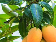 संतोष देसाई का ब्लॉग:आम : यूं ही नहीं है फलों में खास