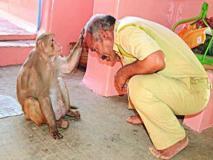 यहां हनुमान मंदिर में 8 सालों से है ये बंदर, भक्तों को देता है आशीर्वाद