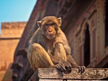 दिल्ली: बंदरों की आबादी रोकने के लिए करोड़ों खर्च, जिम्मेदारी को लेकर नगर निगम और वन्य विभाग में कन्फ्यूजन