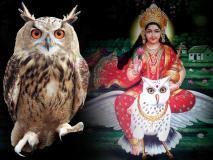 जानिए धन की देवी लक्ष्मी की सवारी उल्लू से जुड़ी रोचक मान्यताएं, यहां चढ़ाई जाती है इसकी बलि
