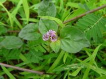 हीरे-मोती से कीमती है यह पौधा, इसके पत्ते किडनी की किसी भी बीमारी को जड़ से कर सकते हैं खत्म