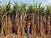 31 अक्टूबर तक करें गन्ना किसानों का भुगतान, नहीं तो मिल मालिकों के गोदाम से चीनी बेच कर दिया जाएगा पैसा