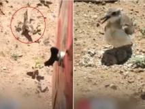 अंडे के भीतर पल रहे बच्चों को बचाने के लिए ट्रैक्टर के सामने खड़ी हो गई हिम्मती चिड़िया, देखें वायरल वीडियो