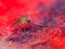 भारत में West Nile virus से पहली मौत, मच्छरों से होने वाली इस खतरनाक बीमारी से ऐसे बचें