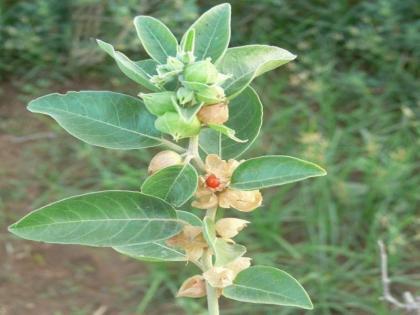 covid recovery herb 'Ashwagandha' beneficial IndiaBritain research together know the benefits   कोविड रिकवरी में कितना लाभदायक हैजड़ी-बूटी 'अश्वगंधा',भारत, ब्रिटेन मिलकर करेंगे रिसर्च, जानें फायदे