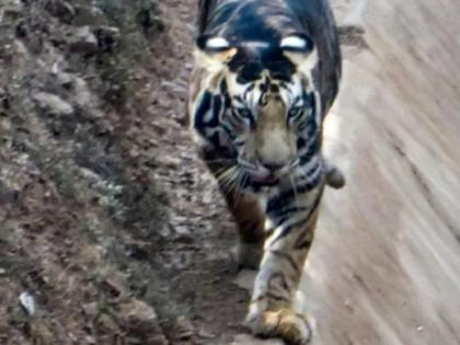 Scientists claim to solve mystery of Odisha's black tigers   ओडिशा के 'काले बाघों' का आखिर क्या है रहस्य, वैज्ञानिकों ने उठाया इस राज से पर्दा