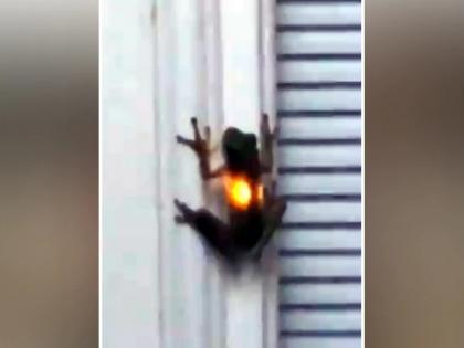 Claim on social media, frog swallows firefly, then light starts burning in stomach, watch viral video   सोशल मीडिया पर दावा, मेंढक ने जिंदा निगला जुगनू, फिर पेट में जलने लगी लाइट, देखें वायरल वीडियो