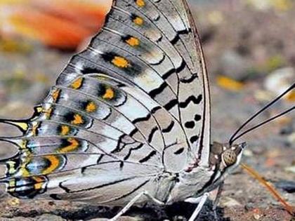 Bombay Natural History Society77 new species butterfliesfoundecologically sensitive forest of Matheran hill station | खुशखबरीःमाथेरान जंगल में तितलियों की 77 नई प्रजातियां मिलीं,कुल संख्या 140, करीब 125 सालबाद