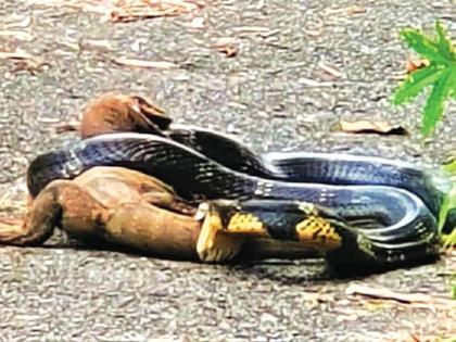 King Cobra and Monitor Lizard Rare fight between Kerala forestVideo goes viral   किंग कोबरा और मॉनिटर छिपकली मेंलड़ाई, मजबूत पंजों, दांतों, पूंछ से हमला, वीडियो वायरल, देखें