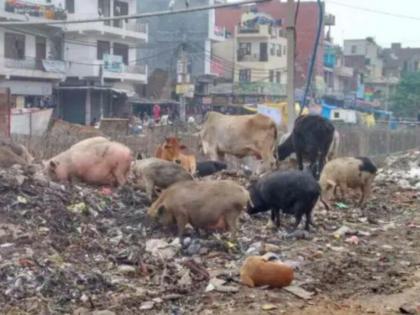Nagpur's stray pigs will go to ChennaiMunicipal Corporation given contract Tamil Nadu team | नागपुर के आवारा सुअर जाएंगे चेन्नई,मनपा ने तमिलनाडु की टीम काे दिया ठेका