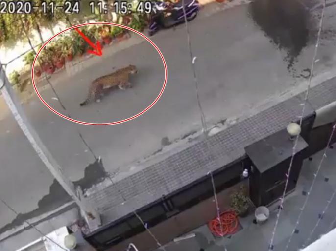 A Leopard seen in Ghaziabad Raj Nagar, video goes viral | VIDEO: गाजियाबाद में सड़क पर घूमता दिखा तेंदुआ, सीसीटीवी फुटेज ने मचाया हड़कंप, खाली करवाया गया स्कूल