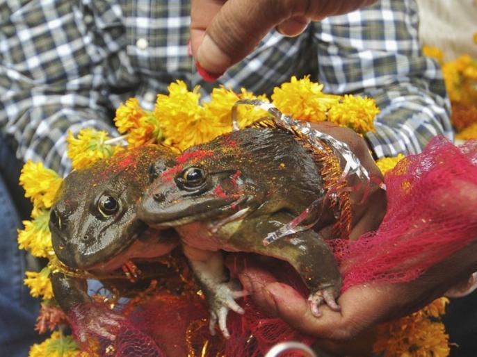 Frogs marriage to please rain gods after week Divorced to End in MP | बारिश के लिए कराई थी मेंढक-मेंढकी की शादी, अब आई तलाक की नौबत