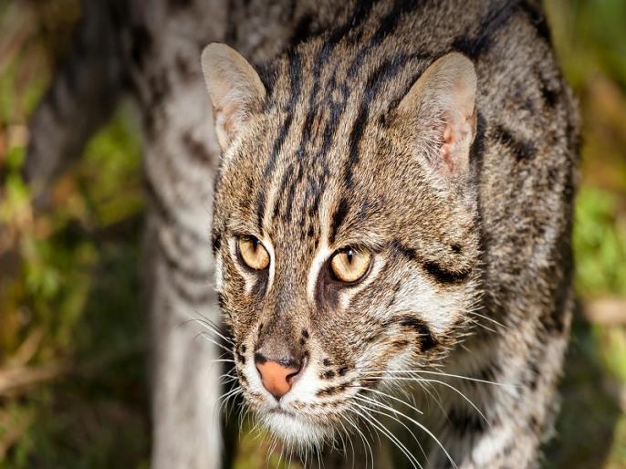 west bengal authority found rare fishing cat head | पश्चिम बंगाल: नहर पर मिला विलुप्तप्राय फिशिंग कैट का सिर, मालिक की तलाश जारी