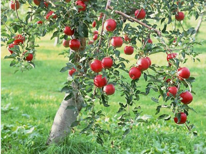 12 Lakh Metric Tonnes of apple to be procured by Special Market intervention Price Scheme in jammu kashmir | जम्मू-कश्मीर के किसानों को मोदी सरकार का तोहफा, 12 लाख मीट्रिक टन सेब की करेगी खरीदारी