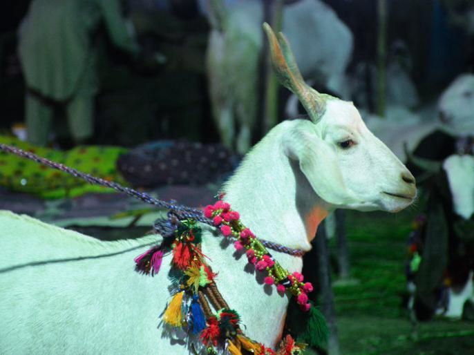 Eid Mubarak 2019: Eid al-Adha, Bakra Eid, Bakrid, Id ul Zuha date, significance, bakra rate, bakri bazar, qurbani importance, images, best wishes, quotes in Hindi   'सोनू' ने 'शाहरुख-सलमान' की मिट्टी पलीद की, 2.5 करोड़ कीमत के साथ पहुंचा पहले स्थान पर