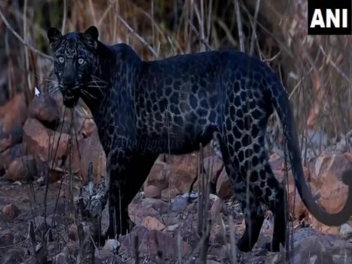 Photographer had lots of hard work behind beautiful picture of black Leopard viral on social media | सोशल मीडिया पर वायरल ब्लैक पैंथर की इस खूबसूरत तस्वीर के लिए फोटोग्राफर को करना पड़ा था इतने घंटों का इंतजार, किया खुलासा