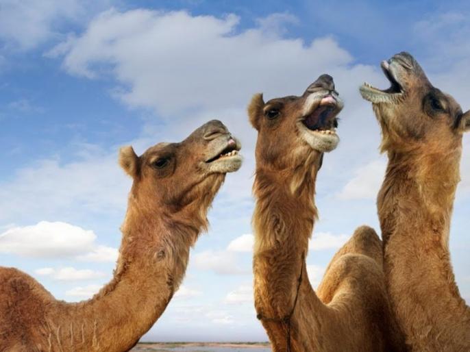 Rajasthan jaipur CM Ashok Gehlot Desert ship verge extinction crisis over camel 35% reduction | लुप्त होने के कगार पर रेगिस्तान का जहाज,ऊंटों के अस्तित्व पर संकट,35 प्रतिशत की भारी कमी