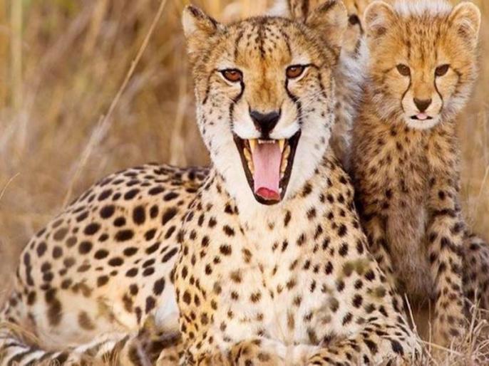 Pramod Bhargava Blog over Rehabilitation of cheetah is not easy in India | प्रमोद भार्गव का ब्लॉग: भारत में आसान नहीं चीतों के पुनर्वास का काम