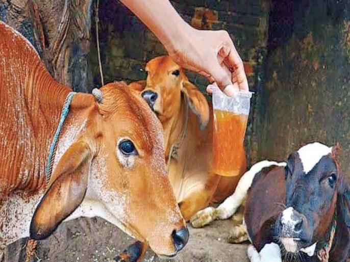 Healthy diet tips: is cow urine good for health, scientists say cow urine has no health benefits | सावधान! गलती से भी मत पीना गाय का पेशाब, भारतीय वैज्ञानिकों ने माना 'सेहत को नहीं होता एक भी फायदा'
