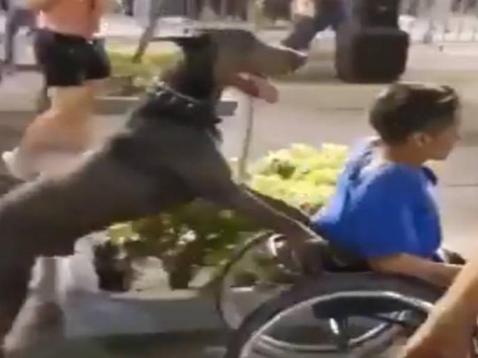 Dog rounded seated on wheel chair owner latest dog video viral on internet | व्हील चेयर पर बैठे मालिक को कुत्ते ने घुमाया पूरा बाजार, लोग हुए हैरान, देखें वीडियो