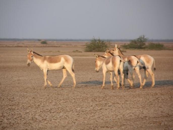 people are buying donkey meat in Andhra Pradesh to boost their sexual capacity and treat Asthma | यौन क्षमता बढ़ाने के लिए भारत के इस राज्य में गधे का मांस खा रहे है लोग