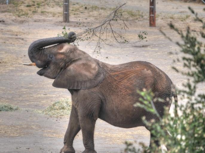 Tamil Nadu: Elephant gunned down in Coimbatore, another dies from illness   कोयंबटूर में दो हाथी मृत मिले, एक की मौत गोली लगने से, दो भाई गिरफ्तार