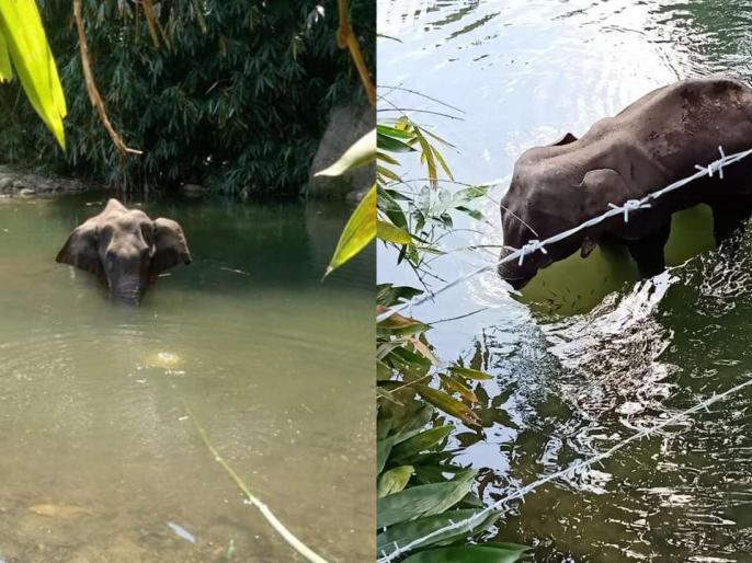 Pregnant elephant dies after being fed pineapple stuffed with crackers in Kerala | केरल में गर्भवती हथिनी को शरारती तत्वों ने खिलाया पटाखे से भरा अनानास, हुई दर्दनाक मौत