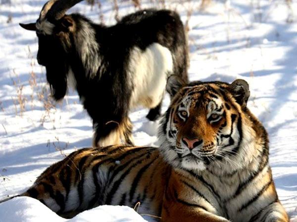 The friendship, love story of Timur goat and Amur tiger won hearts, but the goat broke after being cracked | तैमूरबकरे और अमुर बाघ की दोस्ती,प्यार भरी कहानी ने जीता दिल, लेकिन दरार पड़ने के बाद बकरे ने तोड़ा दम