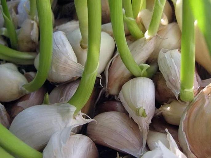 Diet tips: Health benefits of garlic, how to eat garlic to get rid cancer, sex problems and improve sex power, libido power in Hindi | कैंसर, डायबिटीज जैसी 10 बीमारियों की दवा है अंकुरित लहसुन, यौन समस्याएं भी करता है खत्म