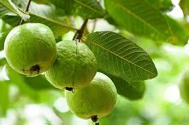guava fruithealth benefits protecting many diseasesrich in antioxidantsvitamin Cpotassiumfiber | अमरूदः कई तरह की बीमारियों से बचाने में मददगार,खाने के और क्या हैं फायदे, जानिए सबकुछ