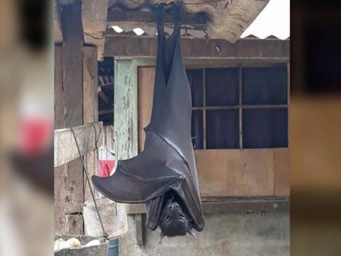 Truth Behind 'human-size' huge Bat viral Photo who gives social media users nightmares | कोरोना काल में इंसान इतना बड़ा ये चमगादड़ लोगों में फैला रहा है खौफ, जानें क्या है इसके पीछे की सच्चाई